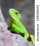 closeup green water dragon or... | Shutterstock . vector #149040641