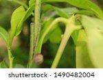 Small photo of Grafting fruit tree , Grafting a pear branch, Mango tree Graft.