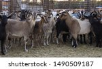 Feral Goats Have Been Herded...