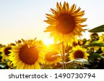 Close Up Of A Sunflower In A...