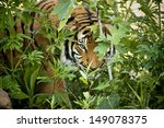 This Malayan Tiger peers through the branches as it stalks another tiger in a local zoo exhibit. The attention to detail in keeping this exhibit