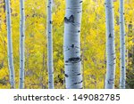 These Aspen Trees In Vail...