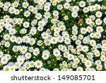 white daisy flowers | Shutterstock . vector #149085701