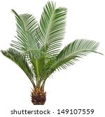 One Palm Tree Cycas Revoluta...