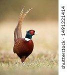 Ringneck Pheasant  Phasianus...