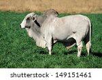 Large White Brahman Bull On...