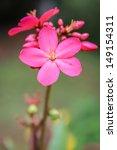 Small photo of Spicy Jatropha integerrima Scientific classification is Kingdom(Plantae,Eudicots,Rosids) Order(Malpighiales), Family(Euphorbiaceae), Subfamily(Crotonoideae), Tribe(Jatropheae), Genus(Jatropha).