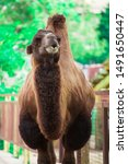 funny camel face in zoo park.    Shutterstock . vector #1491650447