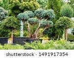 Beautiful Junipers  Coniferous...