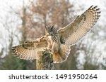 Landing Of A Eurasian Eagle Ow...