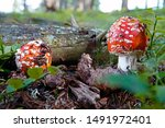 Two Small Mushrooms  Fly Agaric ...