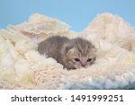 Stock photo newborn cute kittens scottish purebreed white and blue background 1491999251