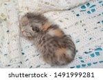 Stock photo newborn cute kittens scottish purebreed white and blue background 1491999281
