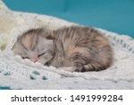 Stock photo newborn cute kittens scottish purebreed white and blue background 1491999284