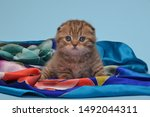 Stock photo kitten tiger chocolate color playing smiling fold adorable cute nice 1492044311