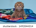 Stock photo kitten tiger chocolate color playing smiling fold adorable cute nice 1492044314