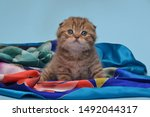 Stock photo kitten tiger chocolate color playing smiling fold adorable cute nice 1492044317