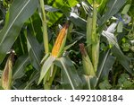 ear of corn on stalk in cornfield with husk pulled back showing kernels at R5 dent growth stage