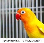 Golden Conures Red Beak Red...