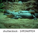Two Crocodiles Rest At Night On ...