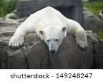 Exhausted   Polar Bear Laying...