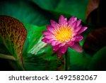 Closeup Beautiful Lotus Flower...