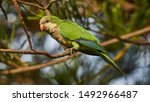 Female monk parakeet perches on ...