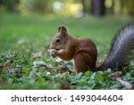 Squirrel. Funny Red Squirrel...