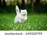 British Shorthair Cat Running...
