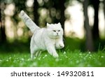 Stock photo british shorthair cat running in summer 149320811