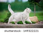 Stock photo british shorthair cat walking outdoor 149322221