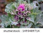 Brassica Oleracea Var Acephala...