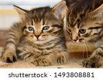 Stock photo two cute little grey kitten with blue eyes relaxing closeup portrait of grey kittens the kitten 1493808881