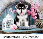 Stock photo alaskan malamute puppy black and white puppy with long fluffy hair 1493904554