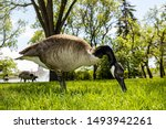 Canada Goose In The Wildlife Of ...