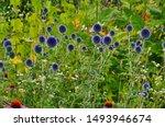 Echinops Ritro L  Globe Thistl...