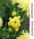 Dahlia Hamari Savron Flower Bud ...