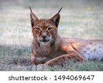 Curious Boreal Lynx  Lynx Lynx...