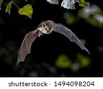Flying bat hunting in forest....