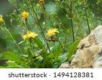 Mountain Flower In The Wild...