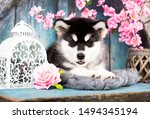 Stock photo alaskan malamute puppy black and white puppy with long fluffy hair 1494345194