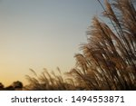 Reed Reeds Sunset Background...
