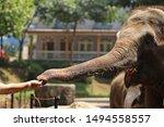 A Man Feeding An Elephant With...
