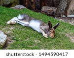 Stock photo mountain hare lepus timidus also known as the white hare 1494590417