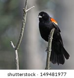 A Male Red Winged Blackbird ...