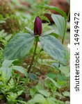 Small photo of prairie trillium in the woods