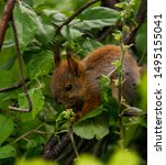 Little Red Squirrel Sits On The ...