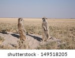 Two Meerkats Waking Up In The...