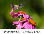 A Juvenile Rufous Hummingbird...