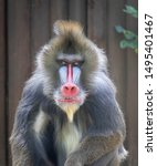 Mandrill Wild Monkey Staring...